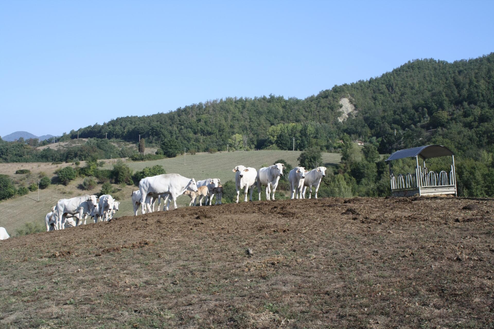 Carne Italiana: La Chianina