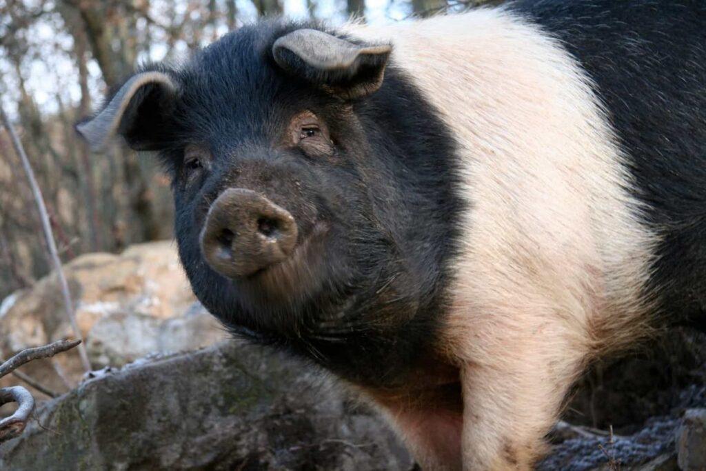 Carne Italiana: Cinta Senese
