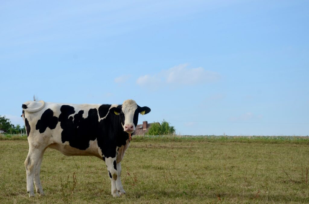 esemplare di bovino